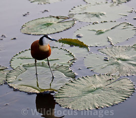 African Jacana (Actophilornis africanus) lilly pad walking, Lake Panic Bird Hide, Skukuza, Kruger National park, South Africa; Landscape