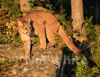 Cougar-Triple_D_wildlife-22017-164-July_31_2017