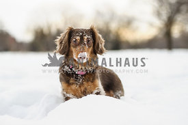 Daschund posing in the snow