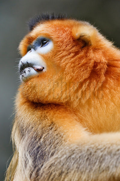 Golden Monkey Portrait