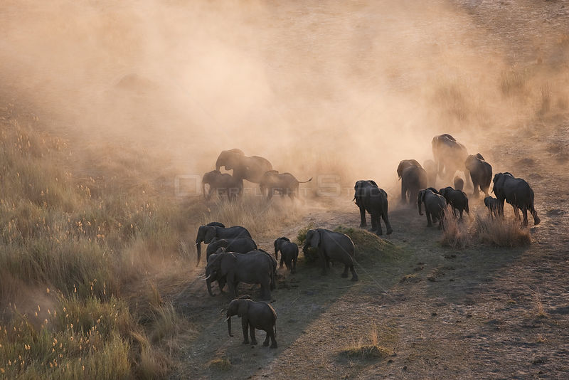 Aerial view of African elephants (Loxodonta africana) kicking up dust at dusk as they migrate in their search for food and water during a drought. Northern Botswana.  Taken on location for BBC Planet Earth series, October 2005