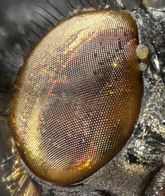 Mouldy fly eye