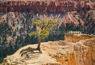 Exposed Tree Roots- Bryce Canyon, Utah