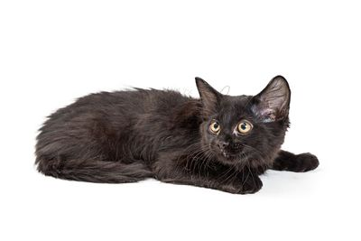 Cute Black Kitten Lying on White