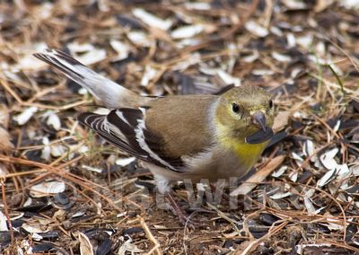 Goldfinch_-1-March_14_2009