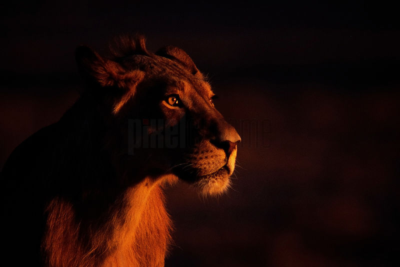 Portrait of a Lion at Dusk