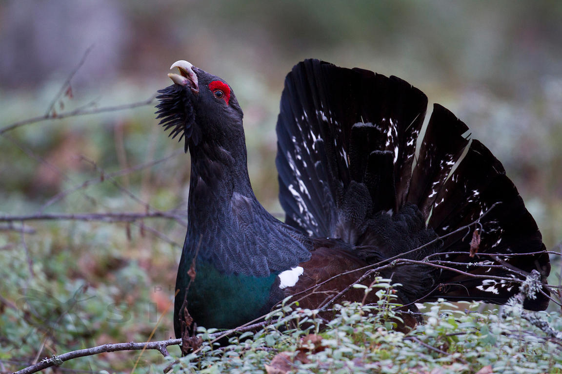 Male Capercaillie