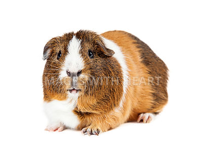Pet Guinea Pig On White