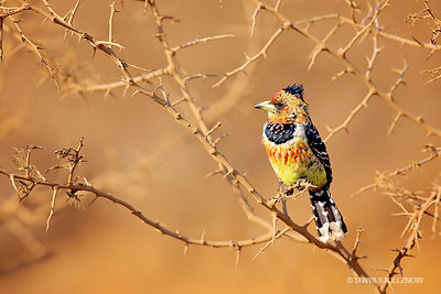 Creted Barbet
