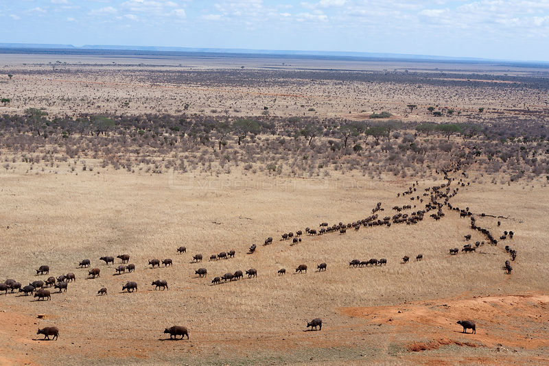 African buffalo (Syncerus caffer) herd walking to water to drink, aerial view, Tsavo East National Park, Kenya, October 2008