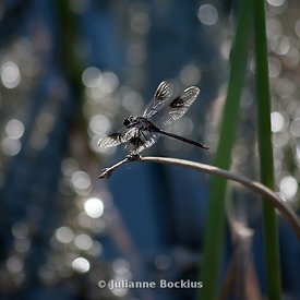 Four-spotted Pennant Dragonfly square