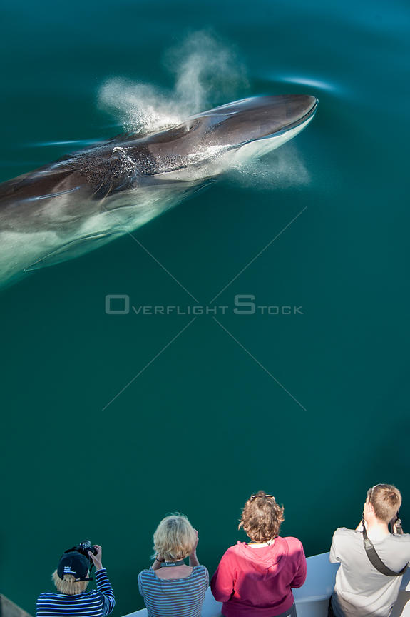 Aerial view of Fin whale (Balaenoptera physalus) surfacing and blowing with whale watchers. Sea of Cortez, Baja California, Mexico. Endangered Species
