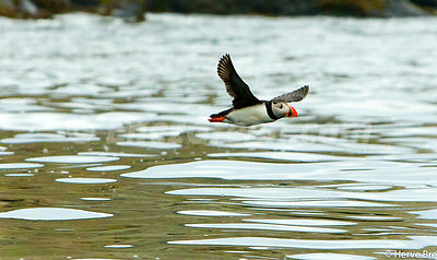Puffin in Outer Hebrides