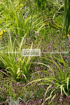 Association, Vivace, Couvre-sol, Carex oshimensis Everillo (laîche d'Oshima), Sedge, Thymus serpyllum (thym serpolet), Creeping thyme,