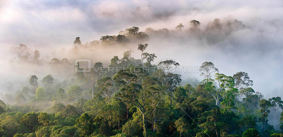 Mist hanging over lowland rainforest just after sunrise. Danum Valley Conservation Area, Sabah, Borneo.