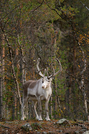 Reindeer in forest