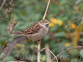 House Sparrow Passer domesticus male Holme Norfolk October