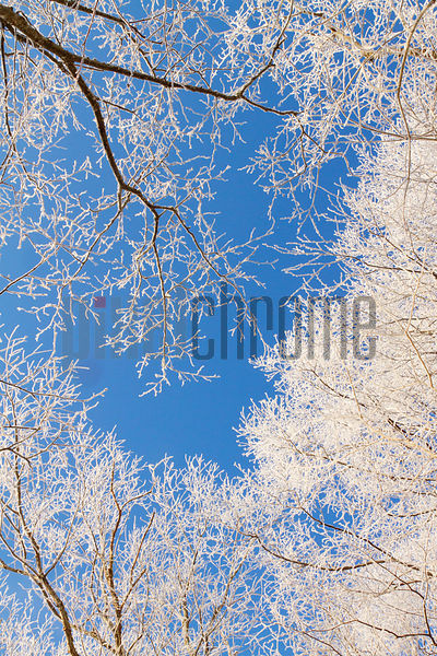 Trees Covered with Hoar Frost