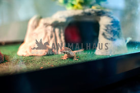 Crested gecko sitting in aquarium