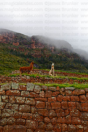 Llamas (Lama glama) grazing on Inca terraces in Huchuy Qosqo site, Cusco Region, Peru