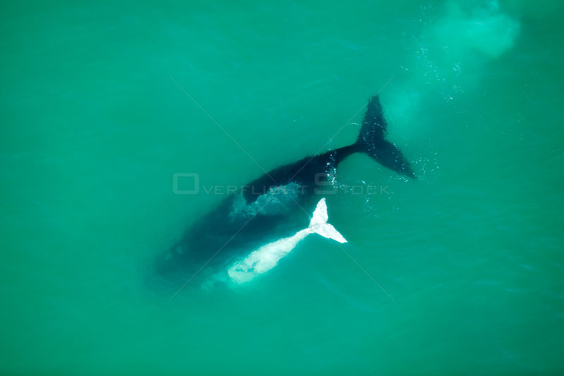 Aerial photograph of Southern Right Whale (Eubalaena australis) with white calf, near Cape Agulhas, South Africa, Southern Right  Western Cape Province, Indian Ocean, August