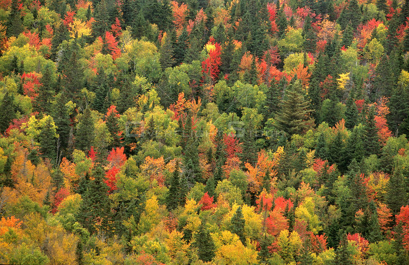 Aerial view of autumn mixed forest tree canopy, Laurentides forest, Quebec, Canada, September 2001