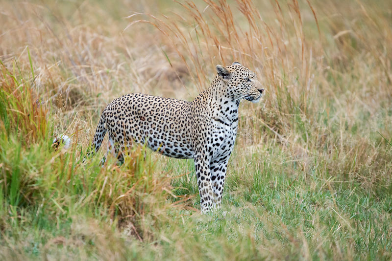 Male Leopard Standing in Tall Grass