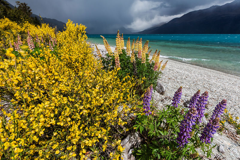 Broom and Lupines on the Shore of Lake Wakatipu with Approaching Storm