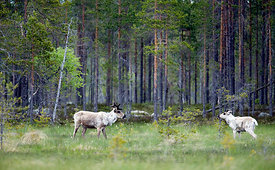 Wild forest Reindeers in Salamajärvi National Park