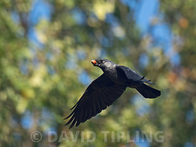 Western Jackdaw Corvus monedula collecting Sweet Chestnuts to store Richmond Park London October