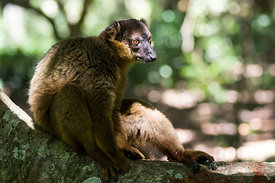 Eulemur collaris