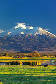 Cattle Grazing Below Mt. Shasta #2