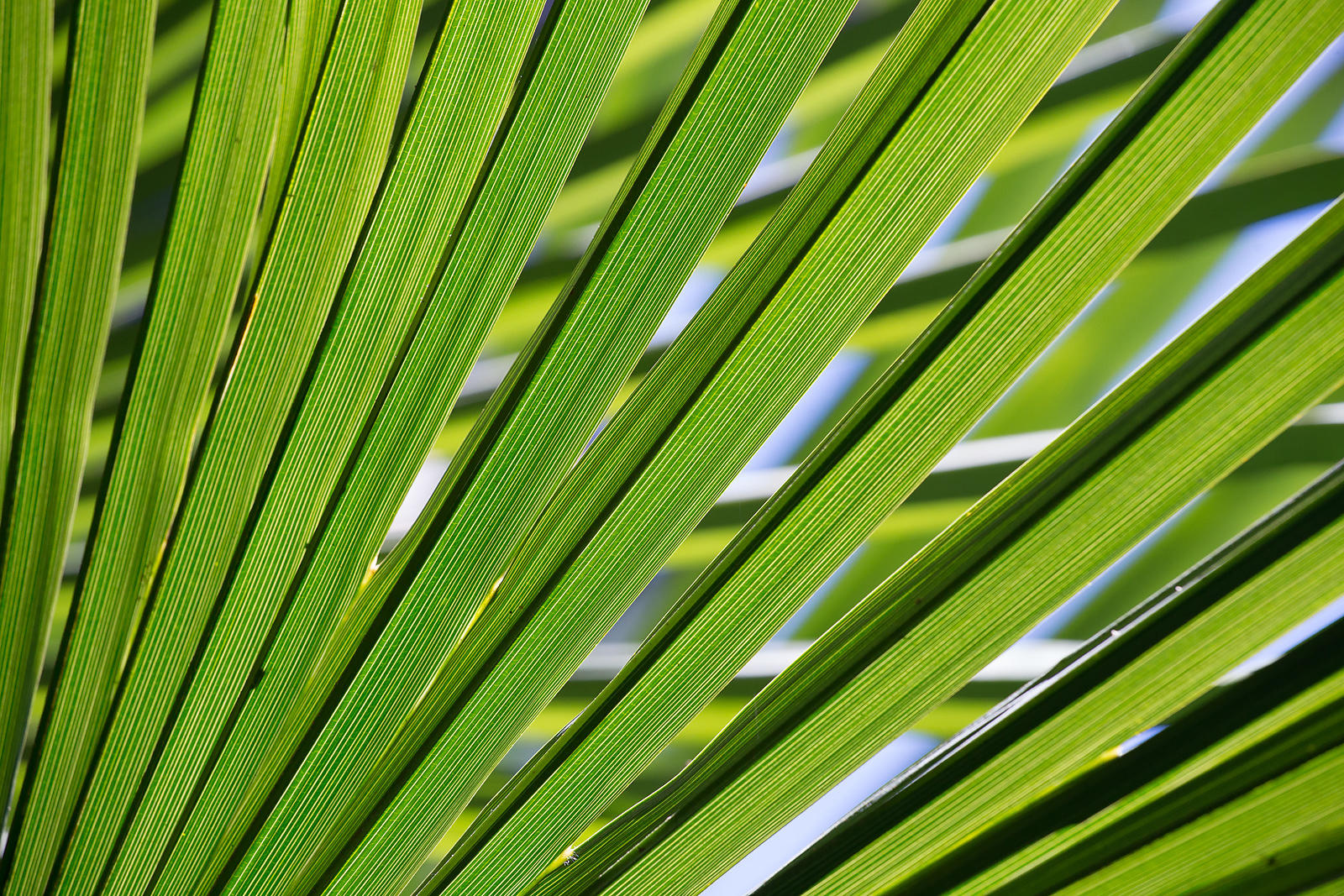 Foliage of Trachycarpus fortunei (Chusan palm)