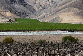 Vineyards contrasting with desert hillside and farm workers, Copiapó Valley, Region III, Chile