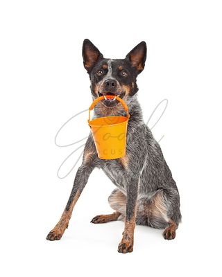 Cattle Dog Holding Orange Bucket