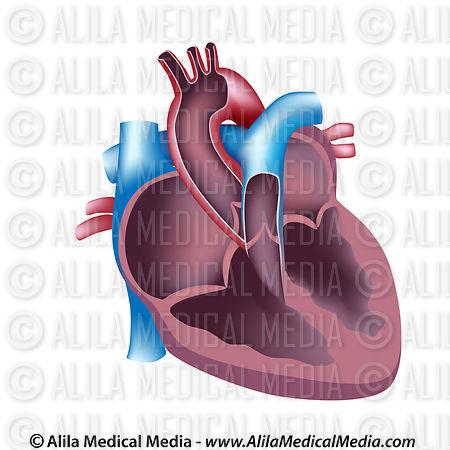 Alila Medical Media | Heart cross section unlabeled ...