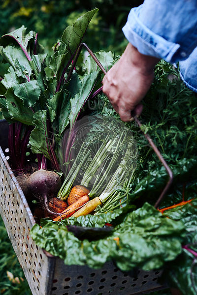 A person holding a basket of freshly picked organic vegetables, including carrots, chard and beets