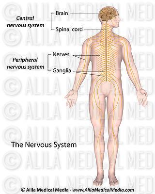 Alila Medical Media   Cerebro y Sistema Nervioso