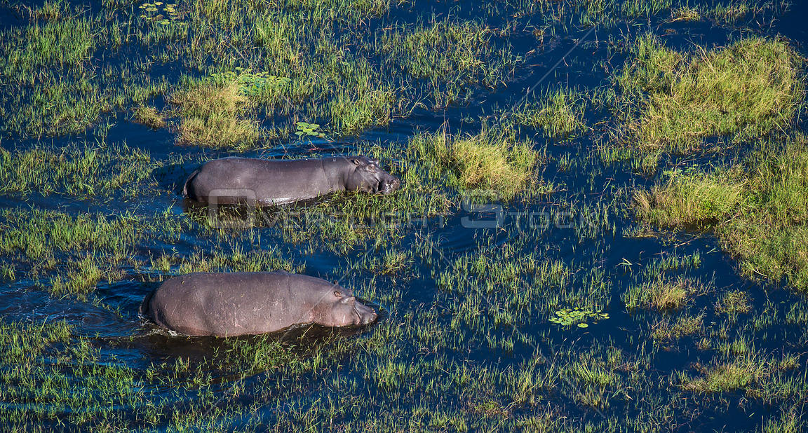 Aerial landscape photograph of the Okavango Delta swamp in Botswana - with hippo (Hippopotamus amphibius) in the water.