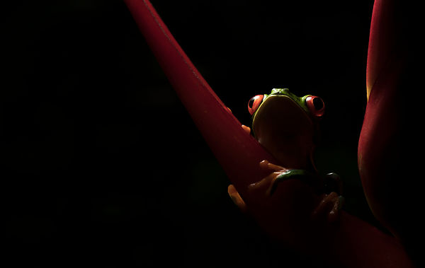 Trying to get 'arty' with a Red Eyed Tree Frog