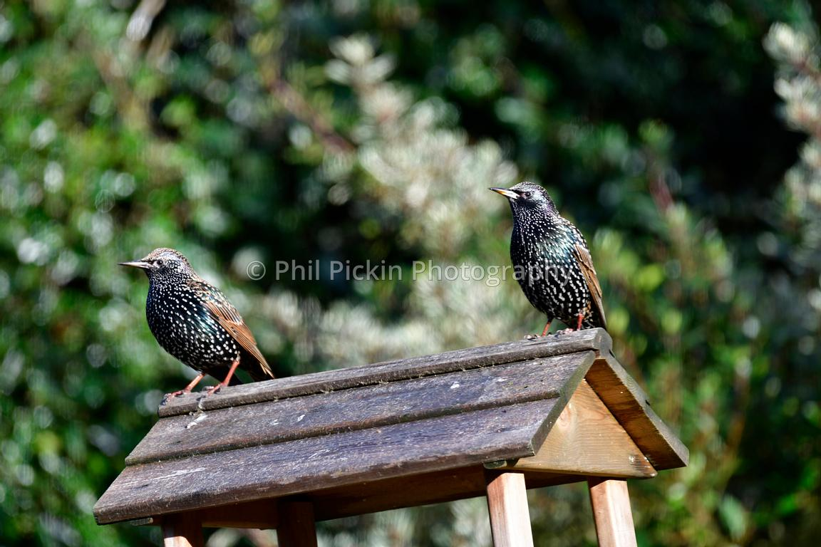 Starlings in winter sunshine