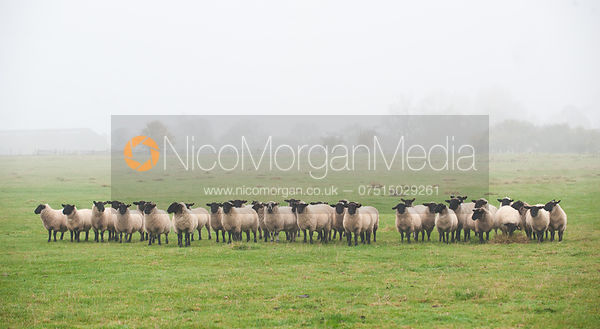 Sheep in a misty field, near Ashwell, Rutland