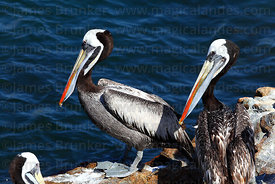 Adult Peruvian pelicans ( Pelecanus thagus ) in breeding plumage