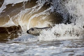 Surfer Seal