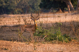 Male Impala (Aepyceros melampus) near Trichilia island viewpoint, Mana Pools National Park, Zimbabwe; Landscape