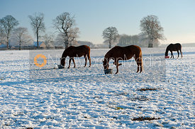 Horses feed in wintery conditions at Burley House, Burley-on-the-Hill, Rutland.