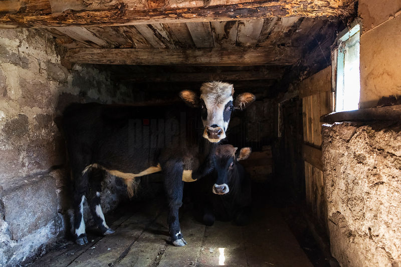Calves in a Cow Shed