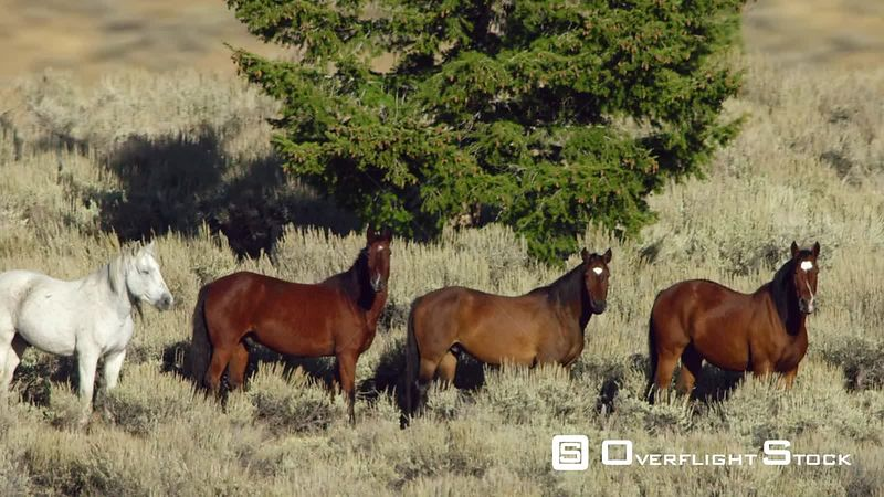A large herd of Mustang horses gallop through sagebrush, meadows, and trees in the foothills of the Gravelly mountain range near Ennis, Montana, in dramatic slow motion cinematography