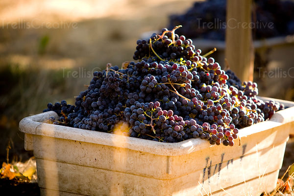 Piled high bin of freshly harvested red grapes