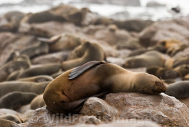 Cape Fur seal having a nap on a rock, Arctocephalus pusillus pusillus, Cape Cross Seal Colony, Skeleton Coast, Namibia; Landscape